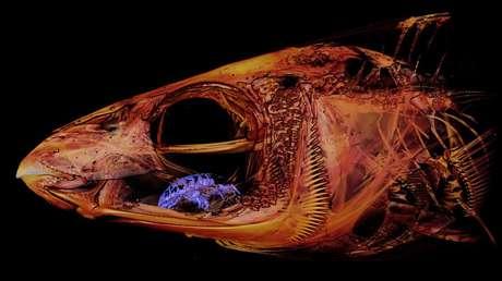 """FOTO: Descubren un """"horrorífico"""" parásito que se comió la lengua de un pez y la reemplazó con su cuerpo"""