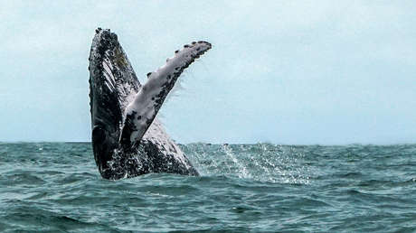 VIDEO: Dos ballenas jorobadas voltean en el aire frente a dos pescadores