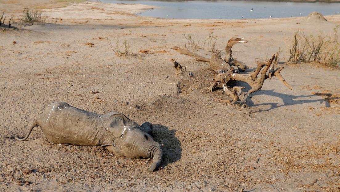 Las autoridades de Zimbabue determinan la posible causa de muerte de 12 elefantes en su territorio