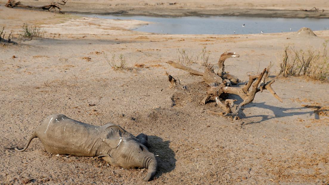 Aumenta a 22 el número de elefantes muertos en Zimbabue aparentemente por una infección bacteriana