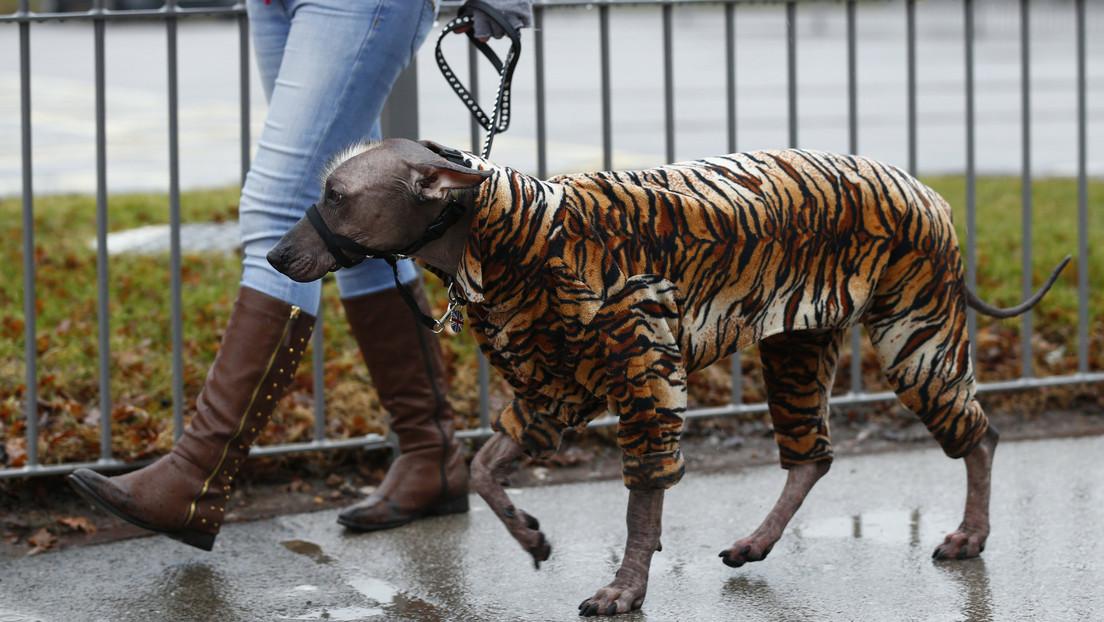 El 'tigre' más triste: Indignación por el cambio de look de un perro callejero en Malasia (FOTOS)