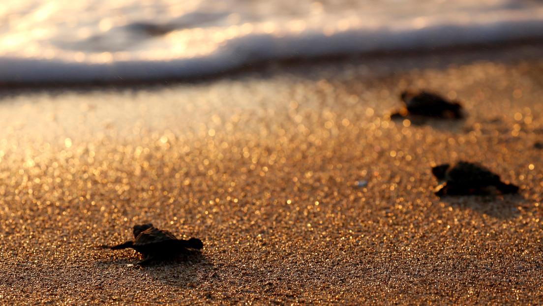Un insólito número de tortugas marinas llega a las playas del Líbano gracias a la pandemia de coronavirus