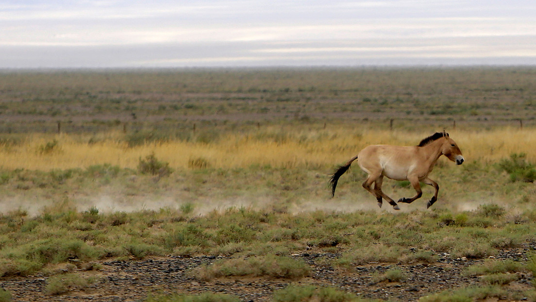 Clonan en EU.UU. un caballo de Przewalski que murió hace 20 años