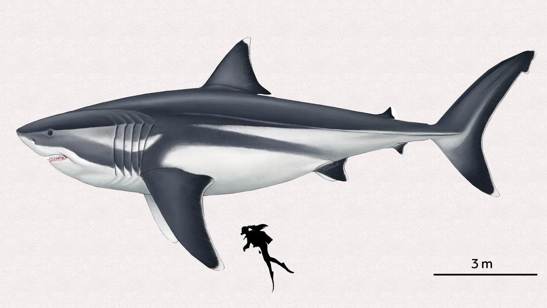 Precisan el verdadero tamaño del más intimidante mega tiburón prehistórico