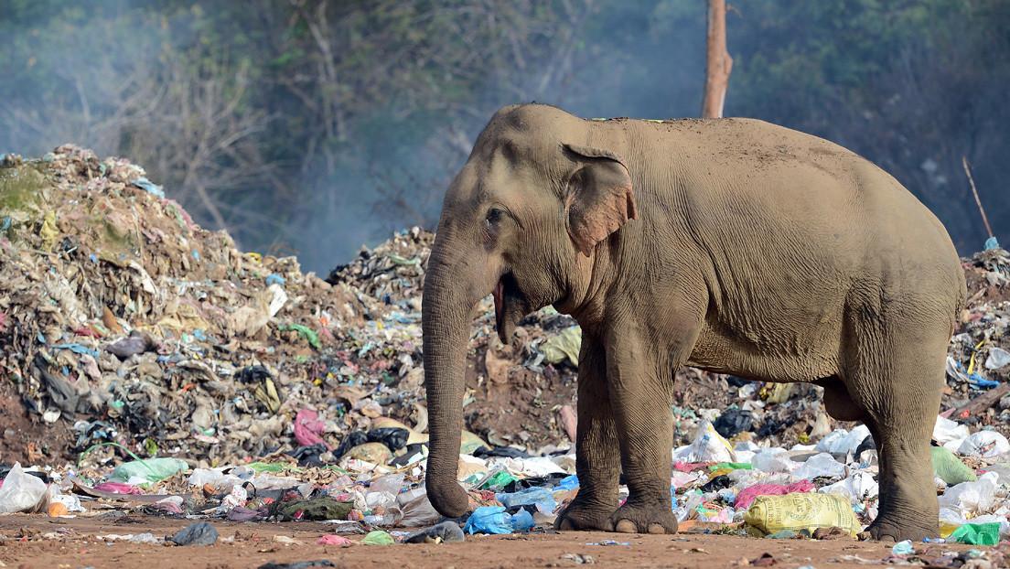FOTOS: Captan a un elefante hambriento que consume residuos de plástico abandonados por turistas en la India
