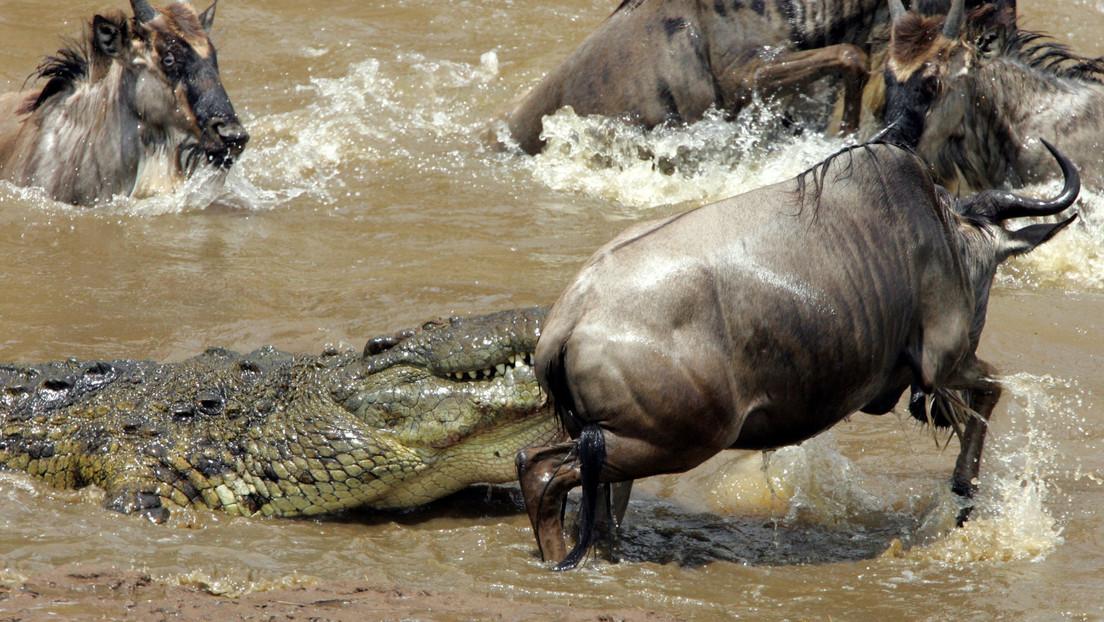 VIDEO: Un suertudo ñu escapa en el último segundo de las fauces de un cocodrilo hambriento