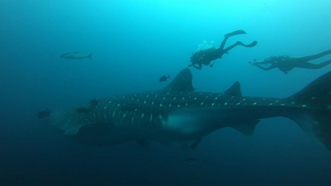 VIDEO: Tiburón ballena recorre 1.100 kilómetros entre las Galápagos y Costa Rica y demuestra la importancia de los corredores biológicos marinos