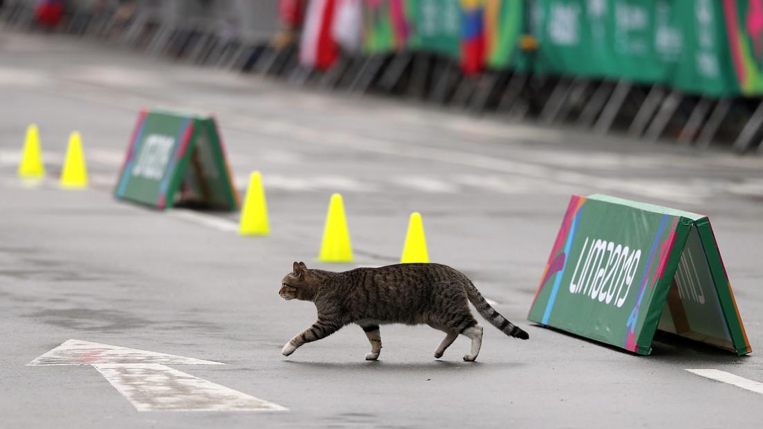 VIDEO: Un gato veloz atraviesa una pista de atletismo al final de una carrera de 100 metros lisos