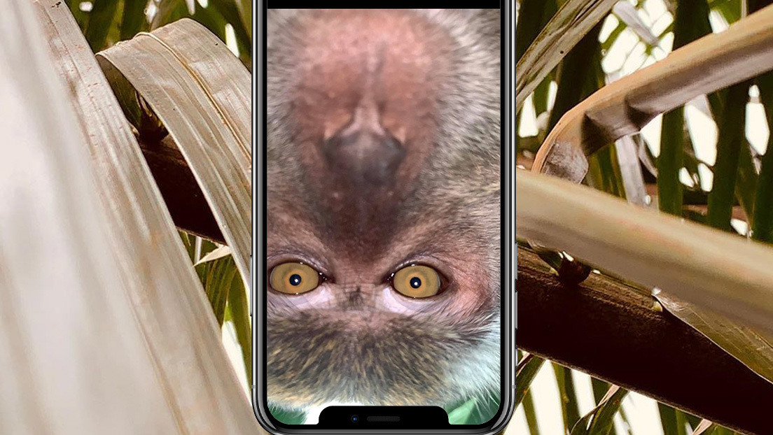 FOTO, VIDEO: Un mono 'toma prestado' un teléfono móvil y se saca 'selfis'