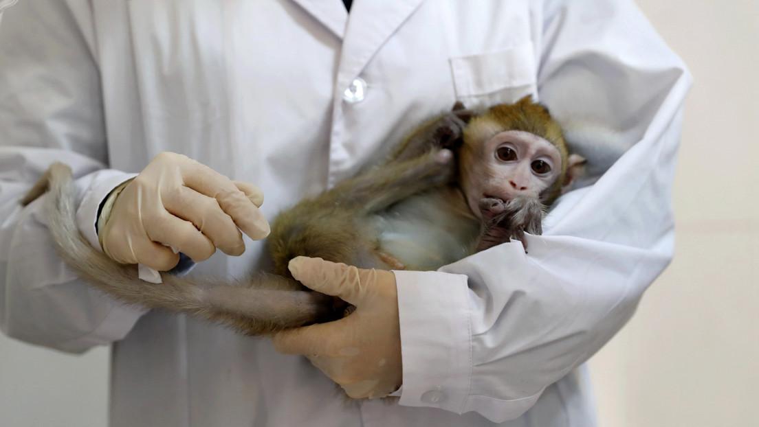 Advierten sobre la escasez de monos en EE.UU. tras la alta demanda para ensayos clínicos del covid-19