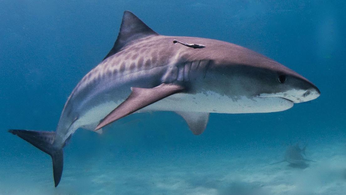 Una estadounidense captura un tiburón tigre de 136 kilos de peso con una caña de pescar casera