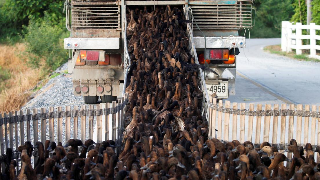 VIDEO: 10.000 patos se dirigen a un campo de arroz en Tailandia para una misión de limpieza