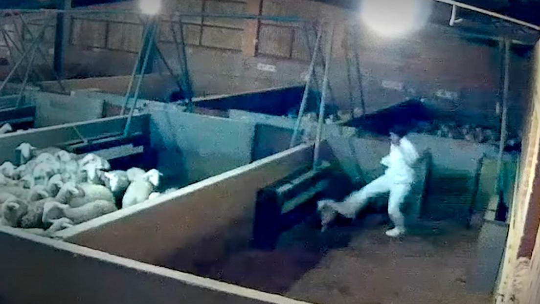 Corderos por los aires, golpes y patadas: las impactantes imágenes captadas con cámara oculta en un matadero de España (VIDEO)