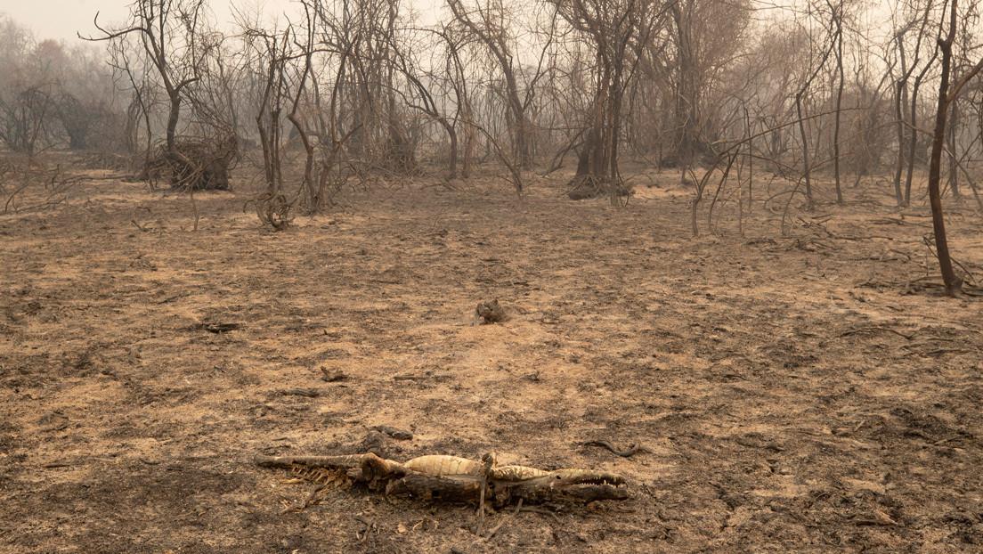 En busca de los animales heridos y en peligro por los devastadores incendios del Pantanal