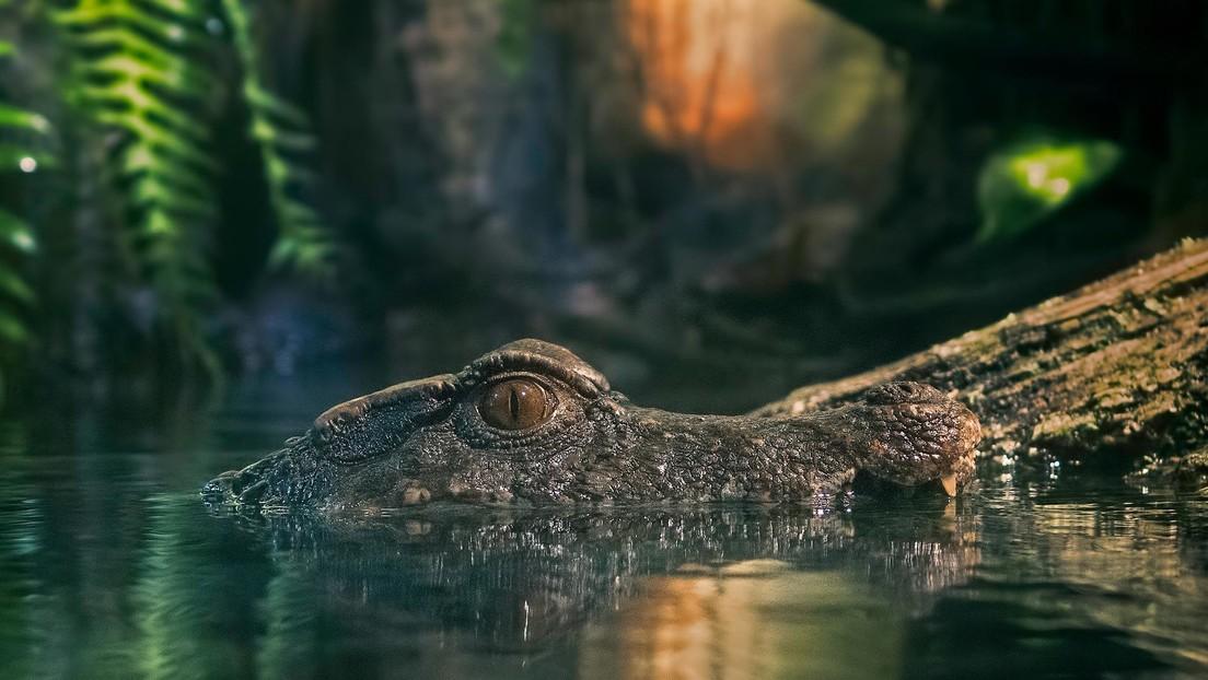 VIDEO: Espanta a un cocodrilo de 4 metros apodado cariñosamente Crujehuesos y la aventura se hace viral