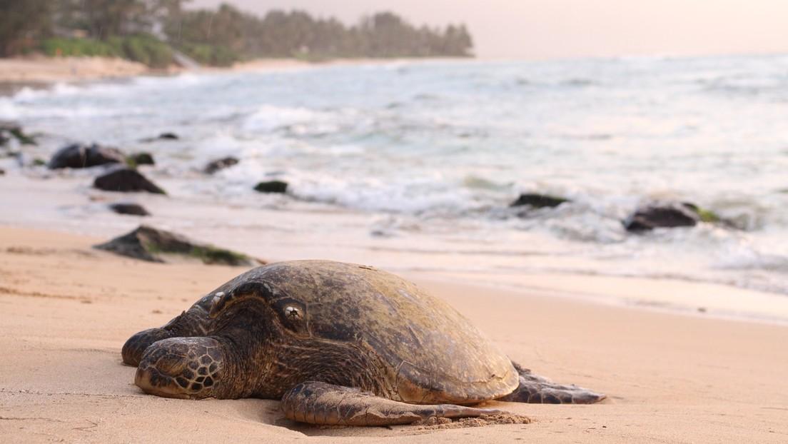 Hallan cientos de tortugas muertas en la misma playa de México donde decenas de leones marinos aparecieron sin vida