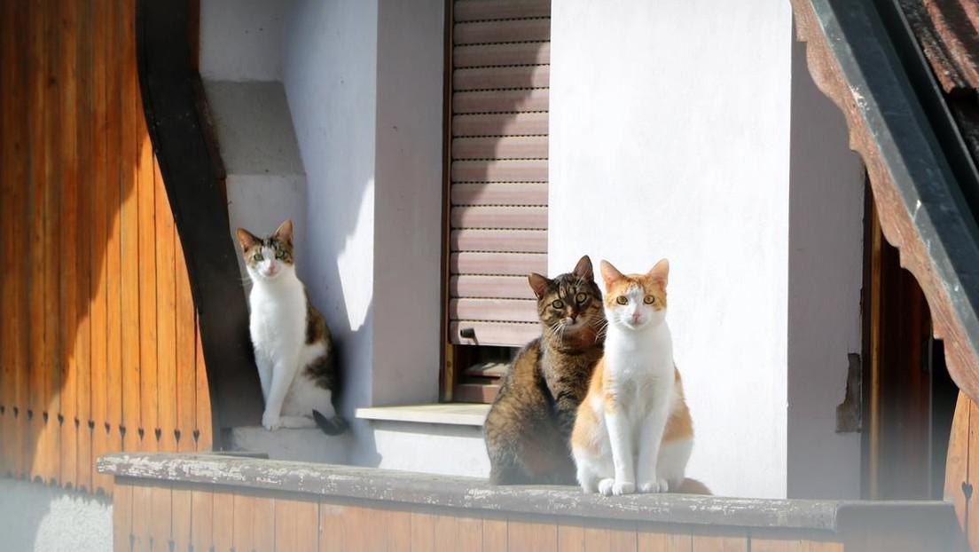 Desahucian a un español que compartía el piso con un 'clan' de un centenar de gatos