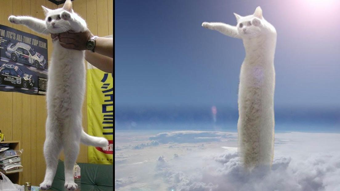 Fallece en Japón el 'gato largo', una leyenda de los memes