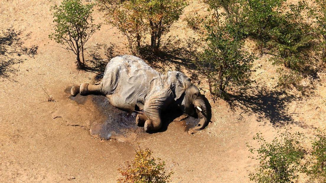 Resolvieron el misterio de la muerte de cientos de elefantes en Botswana