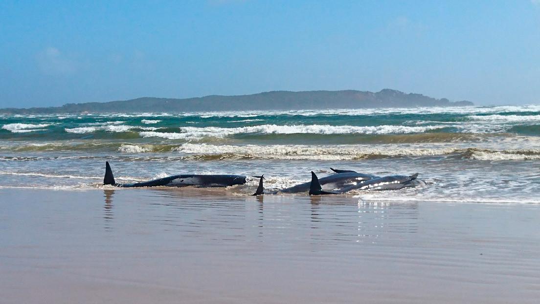 Al menos 270 ballenas quedan varadas en costas de Australia y las autoridades preparan una operación de rescate