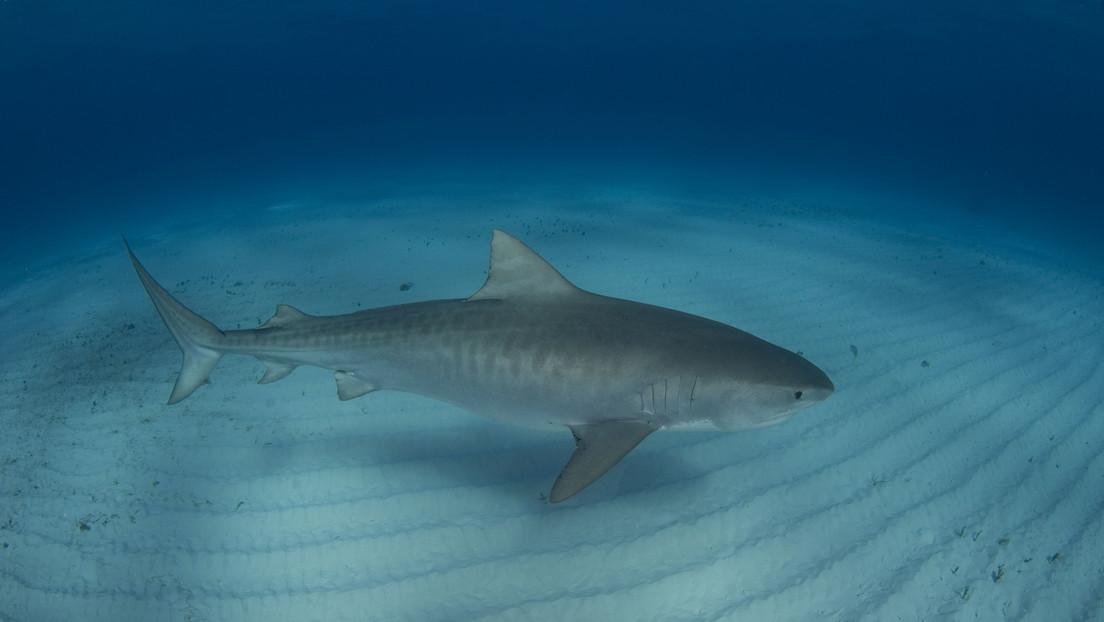 """Un tiburón ataca a un buceador """"casi inmediatamente"""" después de que entrara en el agua en Florida"""