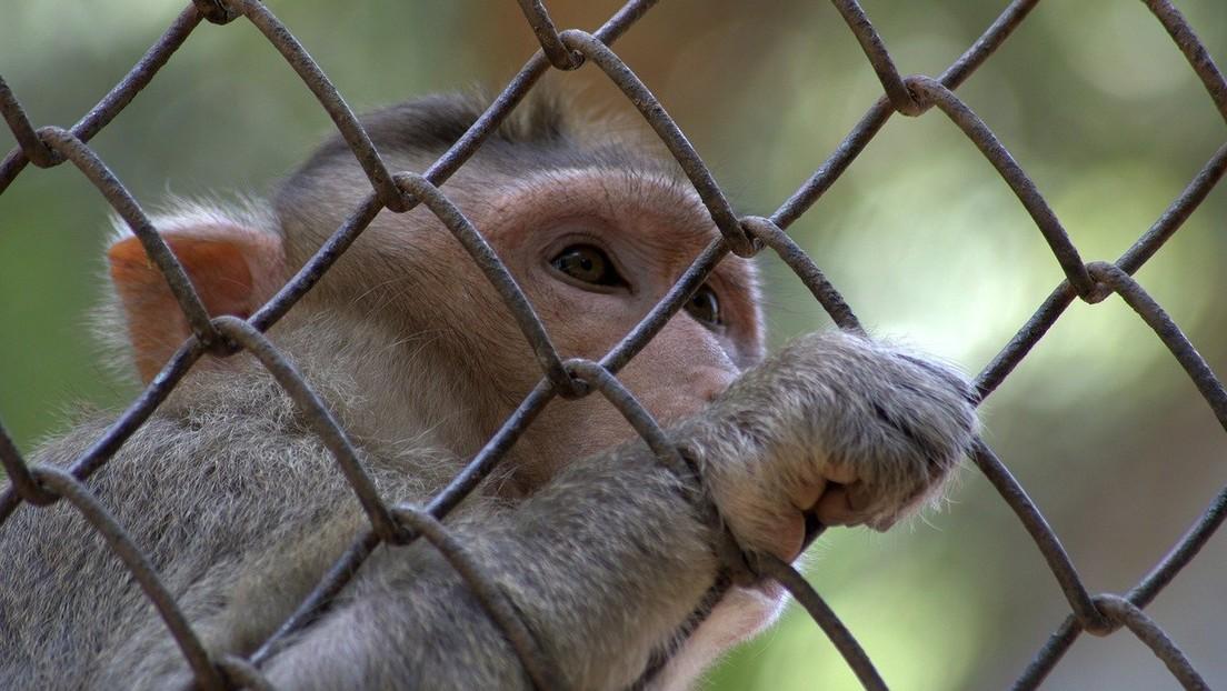 FOTOS: Polémica por experimentos en los que perforaron los cráneos de unos monos y fijaron barras con cemento a sus cabezas