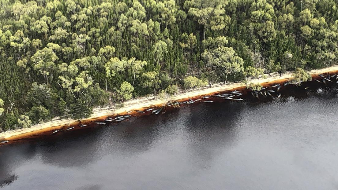 FOTOS: Advierten sobre las consecuencias del más mortífero varamiento masivo de ballenas piloto en Australia