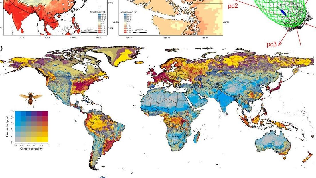 Predicen la posible área de acción del avispón asiático 'asesino', que ya se ha introducido en EE.UU. y Canadá
