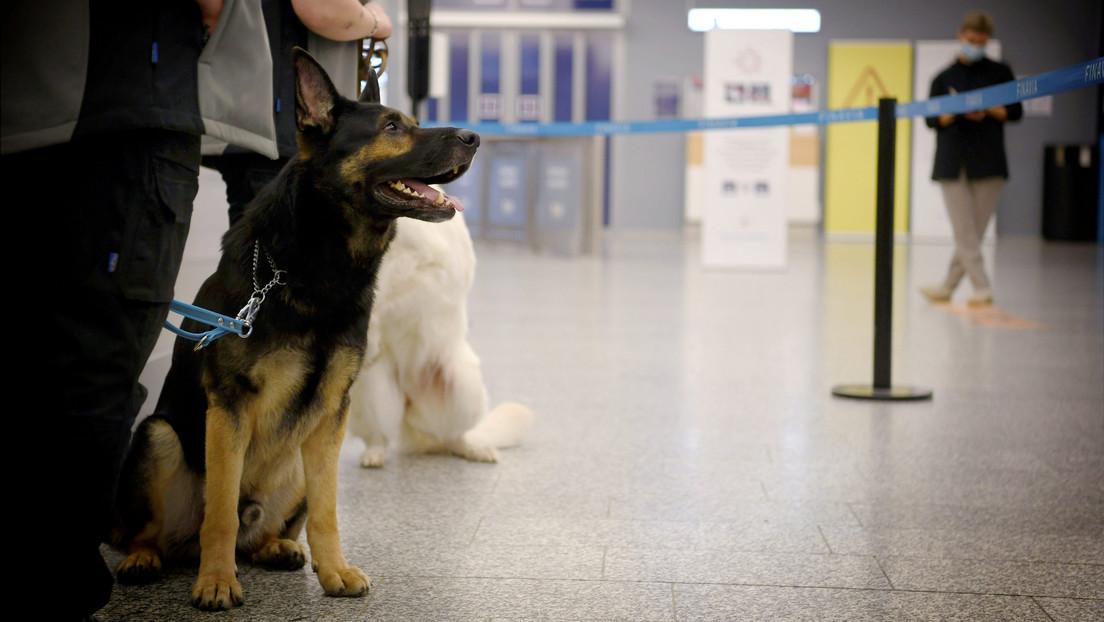 En el aeropuerto de Helsinki son perros los encargados de detectar enfermos de сovid-19