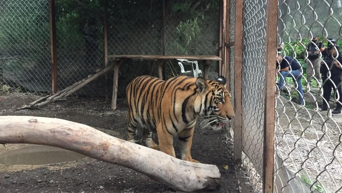 Decomisan un tigre de Bengala, armas y drogas de un domicilio propiedad del cártel de La Familia Michoacana