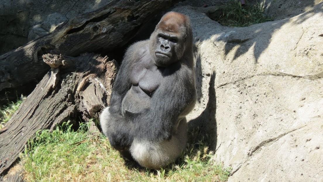 Una cuidadora de un zoológico, gravemente herida tras ser atacada por un gorila de 200 kilos