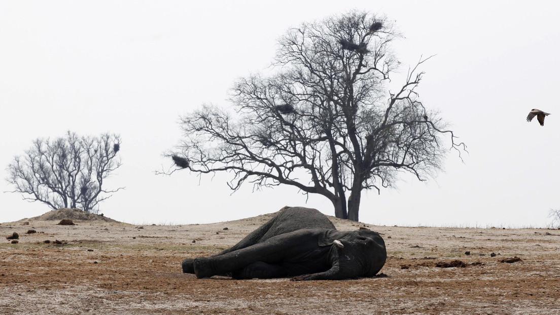 Resuelven el misterio de la  muerte de 34 elefantes en Zimbabue