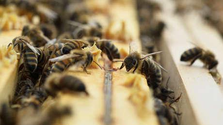 """Científicos consideran que el veneno de abeja es """"extremadamente potente"""" para matar las células del cáncer de mama"""