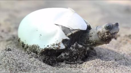Salvan de la extinción a la especie de tortuga con una sonrisa permanente