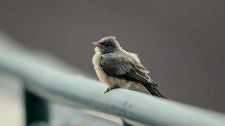 EE.UU.: Científicos no logran descifrar qué hay detrás de la muerte masiva de aves en Nuevo México