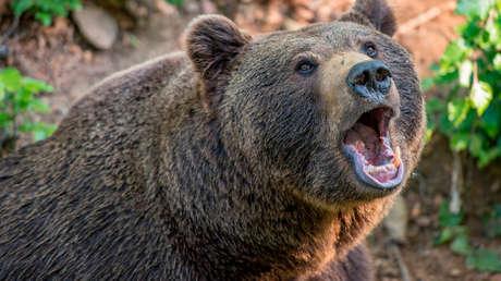 Una abuela rusa se salva de ser atacada por un oso rugiendo más fuerte que el animal