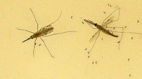 Un mosquito asiático transmisor de la malaria amenaza a más de 120 millones de personas