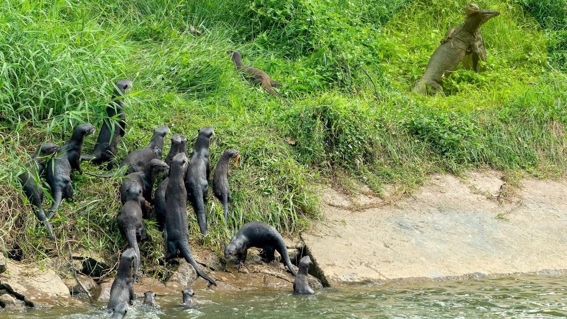 FOTO: Una sorprendida familia de nutrias cruza un río para presenciar la pelea de dos varanos