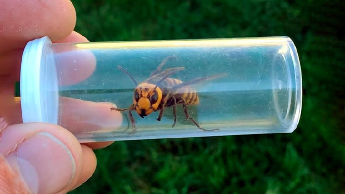 VIDEO, FOTOS: Atrapan vivo a un avispón asiático 'asesino' en Washington