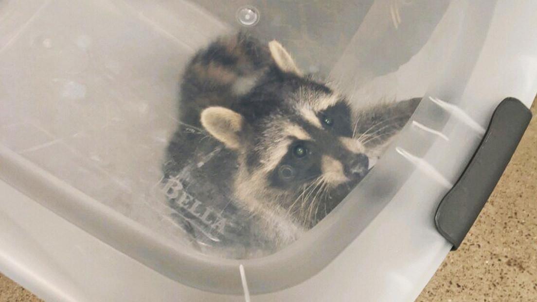 'Detienen' a un mapache en EE.UU. cuando intentaba colarse en un avión (FOTO)