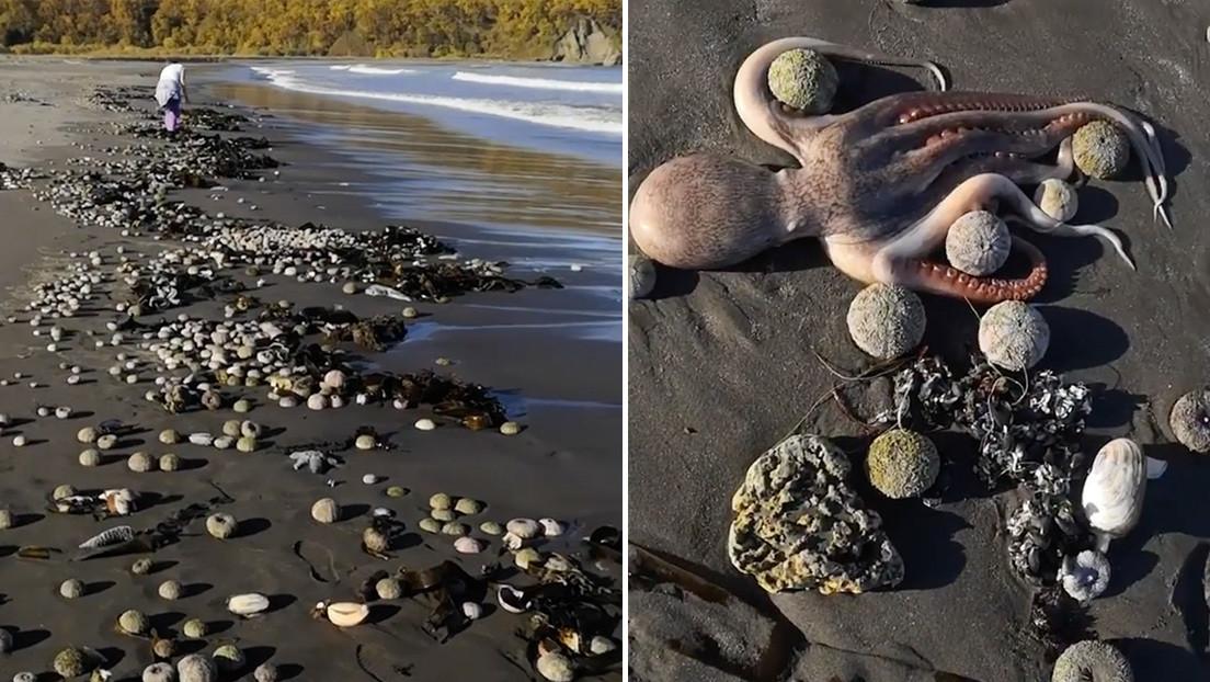 """""""Catástrofe ecológica"""" en Kamchatka: playas convertidas en cementerios de fauna marina y surfistas intoxicados"""