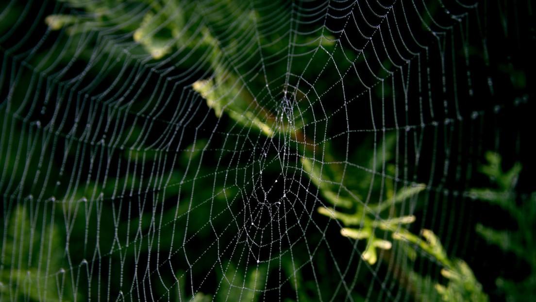 Hallan una telaraña del tamaño de un hombre en un bosque de EE.UU. (FOTO)