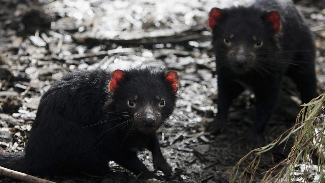 Los demonios de Tasmania vuelven a la Australia continental 3.000 años después