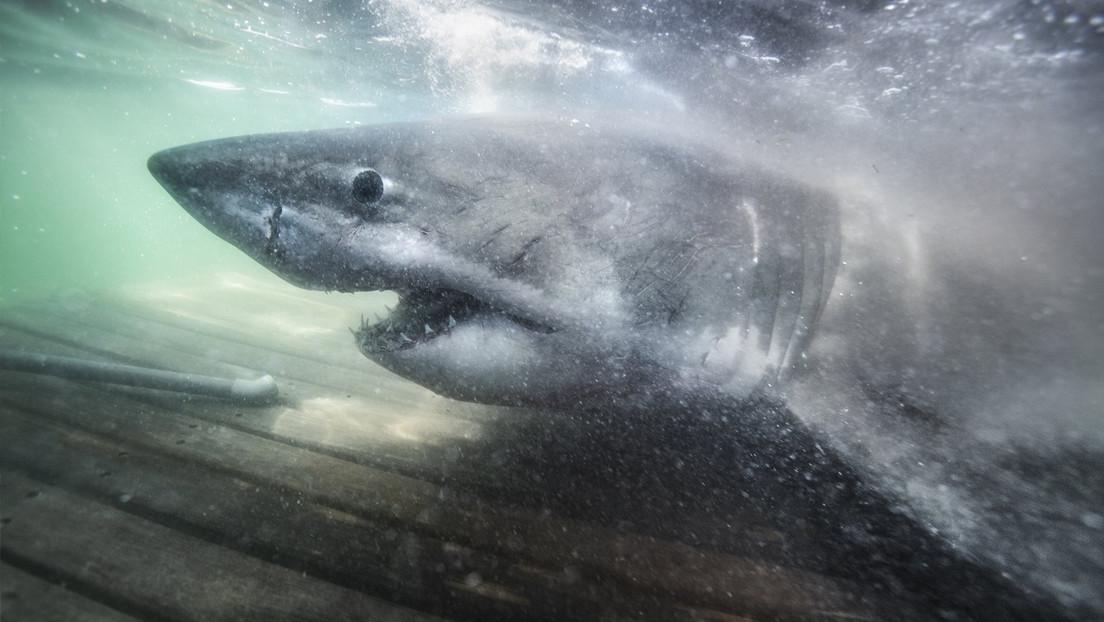 VIDEO: Capturan un enorme tiburón blanco de más de tonelada y media apodado la 'Reina del océano'