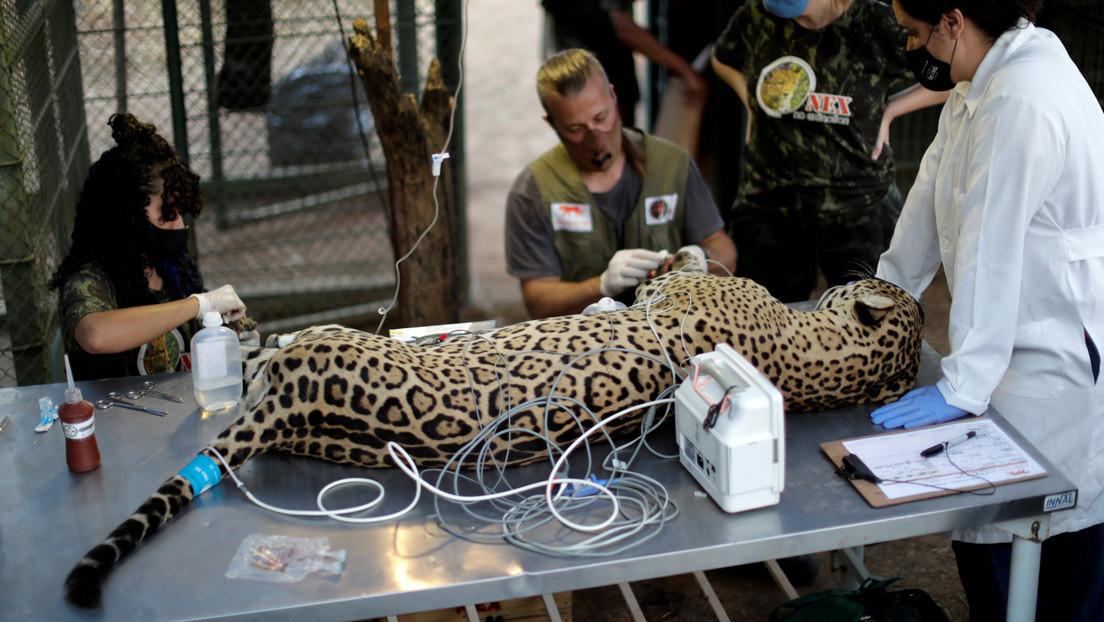Cómo la piel de un pescado se utilizará en Brasil para curar las quemaduras de los animales heridos en los incendios del Pantanal