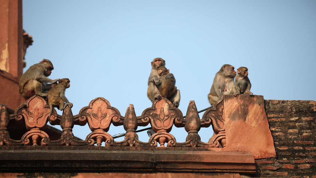 Más de 35 monos matan a 2 personas en la India, al provocar el derrumbe de una pared durante su pelea por el territorio