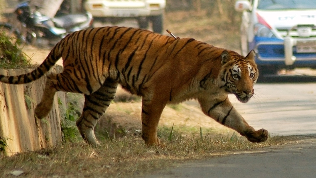 Persiguen en la India a un tigre que ya ha matado a ocho personas