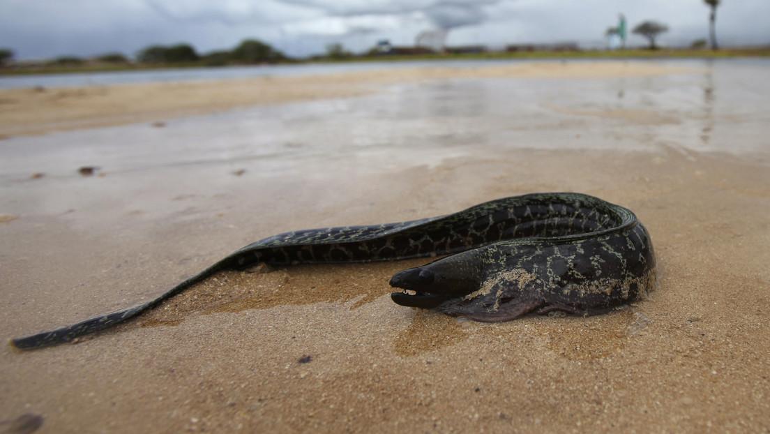 FOTOS: Una anguila muere asfixiada al intentar comerse un pez globo que se infló en su boca