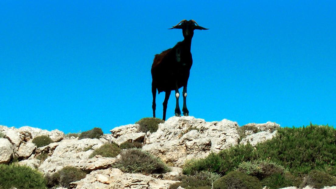 VIDEO: Una cabra entra a una aldea caminando sobre sus patas traseras y se convierte en celebridad