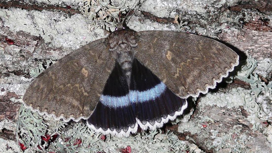 Avistan una rara mariposa en Chernóbil, cuyo tamaño se puede comparar con el de un pájaro
